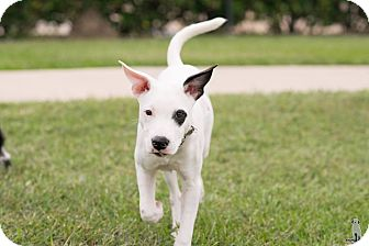 Pointer/Retriever (Unknown Type) Mix Dog for adoption in boston, Massachusetts - Kinley