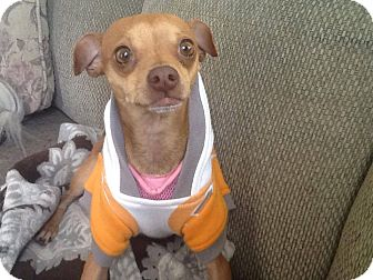 Italian Greyhound/Chihuahua Mix Puppy for adoption in Great Falls, Virginia - Twiggy