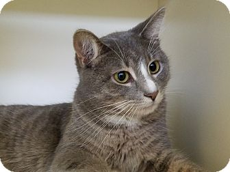 Domestic Shorthair Cat for adoption in Elyria, Ohio - Chatter