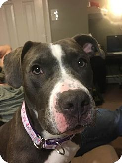 American Staffordshire Terrier/Labrador Retriever Mix Puppy for adoption in Cherry Hill, New Jersey - Alli