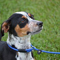 Beagle/Dachshund Mix Puppy for adoption in Springfield, Virginia - Reba