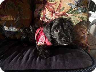 Havanese/Dachshund Mix Puppy for adoption in Holland, Michigan - Spooky