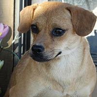 Adopt A Pet :: Gingersnap - Vacaville, CA