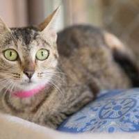 Adopt A Pet :: Geneva - Lihue, HI