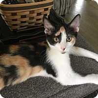 Calico Kitten for adoption in Columbus, Ohio - Ginger