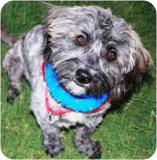 Bichon Frise/Cairn Terrier Mix Dog for adoption in Gilbert, Arizona - Zephyr