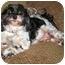 Photo 3 - Poodle (Miniature)/Shih Tzu Mix Dog for adoption in Latrobe, Pennsylvania - Reggie