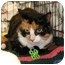 Photo 1 - Polydactyl/Hemingway Cat for adoption in Clementon, New Jersey - Elle