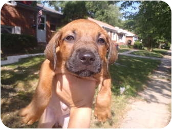 Boxer/Labrador Retriever Mix Puppy for adoption in Bel Air, Maryland - Shirley