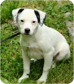 Jack Russell Terrier Mix Puppy for adoption in Brattleboro, Vermont - Collin