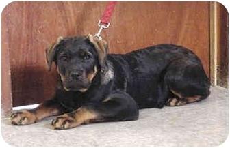 Rottweiler Mix Puppy for adoption in Austin, Minnesota - Silas