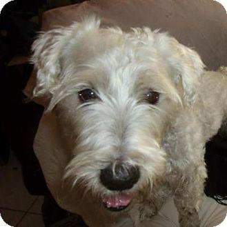 Sheltie, Shetland Sheepdog/Poodle (Standard) Mix Dog for adoption in Hollywood, Florida - Ricky
