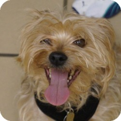 Silky Terrier Mix Dog for adoption in Eatontown, New Jersey - Oliver