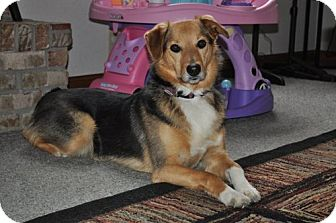 Shepherd (Unknown Type)/Collie Mix Dog for adoption in Northville, Michigan - Zada