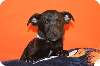 Australian Cattle Dog/Border Collie Mix Puppy for adoption in Broomfield, Colorado - Julius