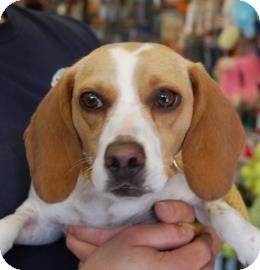 Beagle Mix Dog for adoption in Brooklyn, New York - Stephanie
