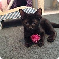 Adopt A Pet :: Diesel Jr. - Sterling Hgts, MI