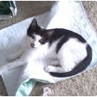 Domestic Shorthair Cat for adoption in Bay City, Michigan - Pepper