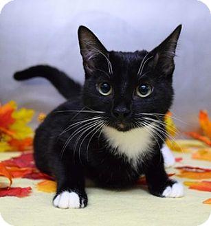 Domestic Shorthair Cat for adoption in Dublin, California - Aphrodite