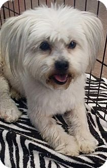 Shih Tzu Dog for adoption in Inland Empire, California - AVERY