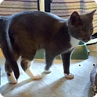 Adopt A Pet :: Socks - Bentonville, AR