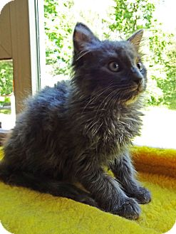Domestic Longhair Kitten for adoption in N. Billerica, Massachusetts - Dapper Dan