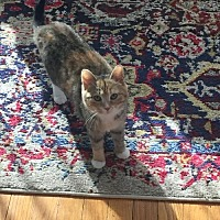 Adopt A Pet :: Kit Kat - New City, NY