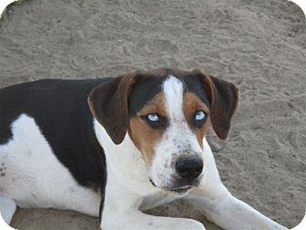Australian Shepherd/Treeing Walker Coonhound Mix Dog for adoption in Liberty Center, Ohio - Taysha