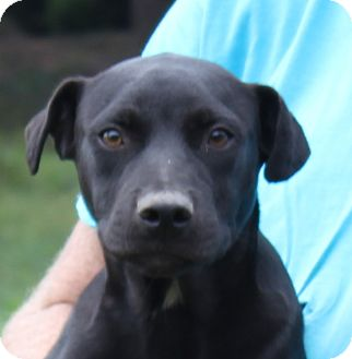 Labrador Retriever/Pit Bull Terrier Mix Puppy for adoption in Colonial Heights, Virginia - Bam Bam