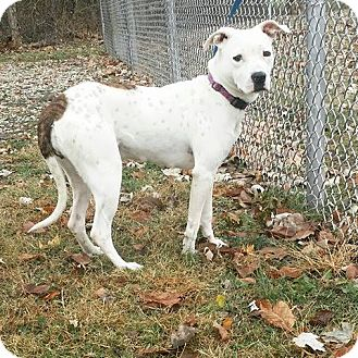 Pit Bull Terrier Mix Dog for adoption in Cannelton, Indiana - Nova