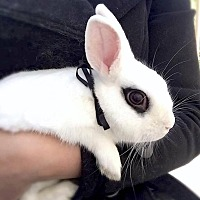 Dwarf Hotot Mix for adoption in Los Angeles, California - Chang (aka Snowball)