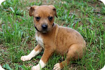 Dachshund/Chihuahua Mix Puppy for adoption in Newark, Delaware - Cora