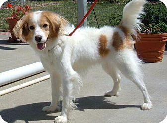 Spaniel (Unknown Type)/Papillon Mix Dog for adoption in Antioch, California - OTIS