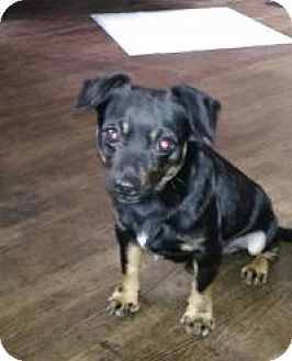 Chihuahua/Dachshund Mix Dog for adoption in New Smyrna Beach, Florida - Buster