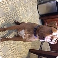 American Pit Bull Terrier/Labrador Retriever Mix Dog for adoption in Troy, Missouri - Amber