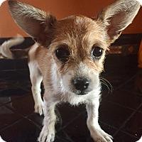 Adopt A Pet :: Havana - Santa Ana, CA