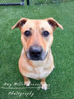 Black Mouth Cur Mix Dog for adoption in Land O'Lakes, Florida - Daisy