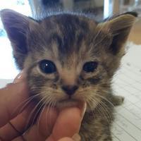Adopt A Pet :: kitten2 - Mesquite, TX