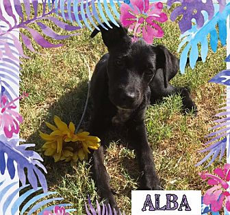 Labrador Retriever Mix Puppy for adoption in East Hartford, Connecticut - Alba