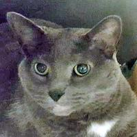 Domestic Shorthair/Domestic Shorthair Mix Cat for adoption in Noblesville, Indiana - Lucy