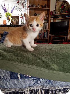 Domestic Shorthair Kitten for adoption in Sylvan Lake, Michigan - Honey