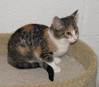 Domestic Shorthair Kitten for adoption in Spring Grove, Pennsylvania - Alza (baby girl)
