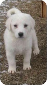 Golden Retriever/Labrador Retriever Mix Puppy for adoption in Howell, Michigan - Tasha