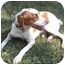 Photo 3 - Brittany Dog for adoption in Odenton, Maryland - GUNTHER