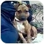 Photo 3 - Dachshund/Jack Russell Terrier Mix Puppy for adoption in New Carlisle, Indiana - CoCo