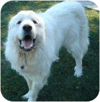 Great Pyrenees Dog for adoption in Bloomington, Illinois - Scout ON HOLD