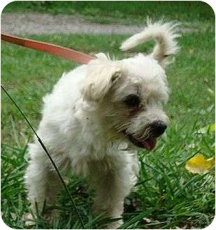 Maltese Dog for adoption in Londonderry, New Hampshire - Champ