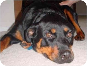 Rottweiler Dog for adoption in Austin, Texas - Daisy Too