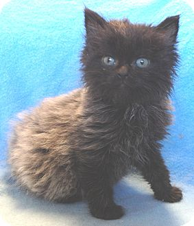 Persian Kitten for adoption in South Haven, Michigan - Wuzzy