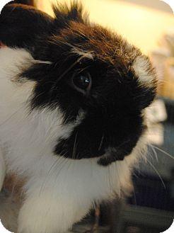 American Fuzzy Lop for adoption in Seattle c/o Kingston 98346/ Washington State, Washington - Ziggy